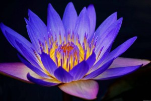 Lotus-Healer-Reiki